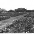 Exposition Park Rose Garden | Photo Courtesy of The National Register