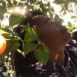 Agyei Graham plucking an orange in his backyard | Sinduja Rangrajan
