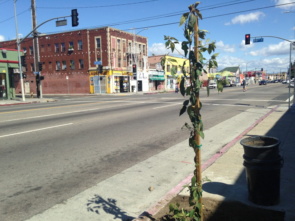 The organization City Plants spearheaded the installation of 120 trees on Broadway in South L.A., partially to combat urban pollution. | Daina Beth Solomon